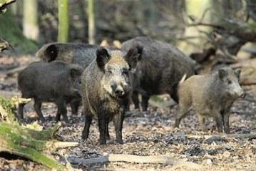 פלילים: דוח לתושב שהאכיל חזירים, נעצר משליך רימון העשן במשחק מול חיפה ועוד