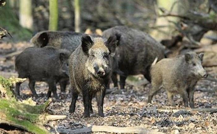 תושבי 'בימת תל חי' ו'שכונת הוורדים': הכירו את השכנים שלכם חזירי הבר